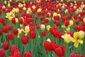 Tulips_On_Park_Ave